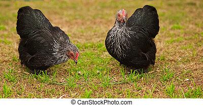 bantam, animales, vivo, gama libre, pollo, gallinas