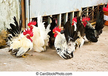 Male bantam chickens low Within a herd