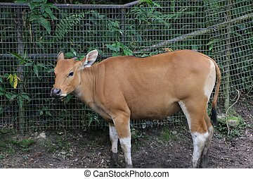 Banteng (Bos javanicus), also known as tembadau, is a species of wild cattle found in Southeast Asia.