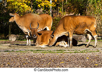 Banteng, Bos javanicus or Red Bull is a type of wild cattle.