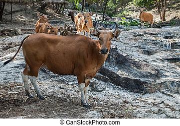 banteng, (bos, thailand., javanicus), familia