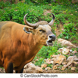 banteng, ou, vermelho, touro