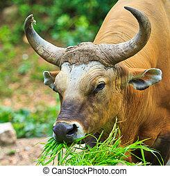 banteng, tailandia, rainforest, rojo, toro