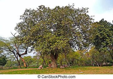 Banyan tree - Banyan, or Pippal tree in Rajghat park, New...