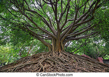 banyan tree. - banyan tree is showing both stems and roots.