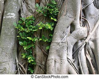 Banyan tree bark      - Banyan tree bark  Background