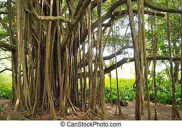 Banyan Tree - Closeup of a beautiful banyan tree with roots...