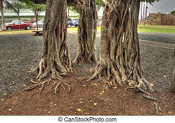 Banyan Tree - Closeup of banyan tree roots with names and...