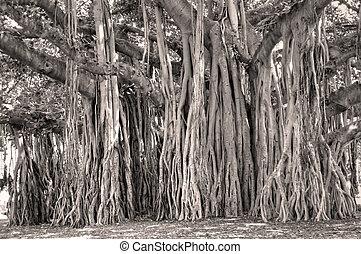 Banyan Tree Ficus benghalensis - Ficus benghalensis Banyan...