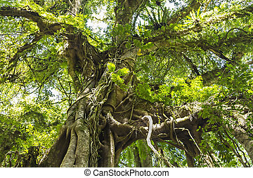 Banyan tree in the dense forest