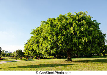 Banyan tree in the park - Banyan tree growing on the lawn in...
