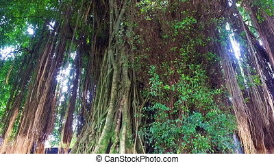 Banyan tree in the rainforest on Java Indonesia
