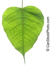 Banyan Tree leaf - Banyan Tree young leaf, Ficus Religiosa...