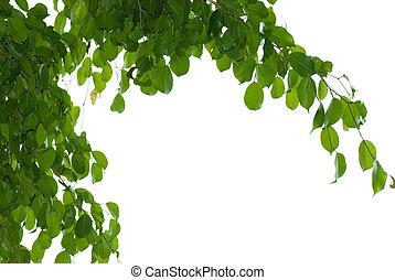 Banyan tree leaf isolated on white background