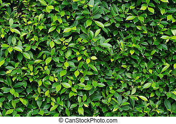 Banyan tree leaves background