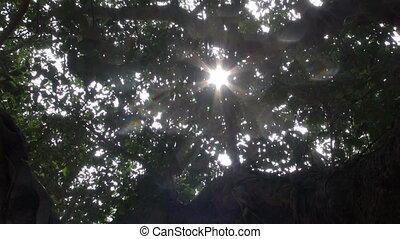 banyan tree leaves %u2013 Auroville,
