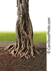 Banyan Tree - Closeup of banyan tree trunk roots with...
