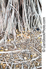 banyan tree root in the park