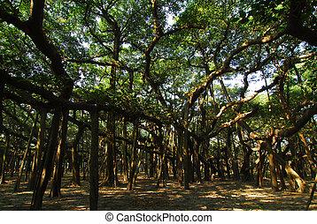 BANYAN TREE ROOTS - long hanging roots of an old banyan tree