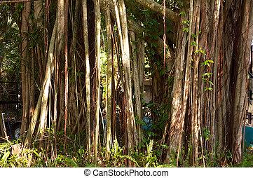 banyan tree - Roots and shoots of a large banyan tree fill...