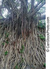 Banyan tree in guangdong,china