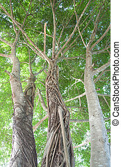 banyan tree - big banyan tree with beautiful roots