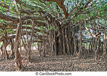 Banyan tree - Very big banyan tree in the jungle