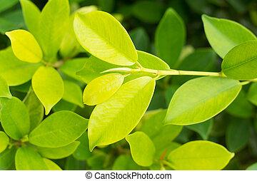 Banyan Tree,Ficus annulata, Green nature leaf background