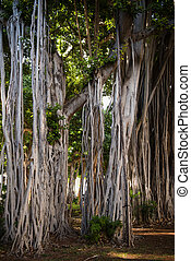 Banyon trees in downtown Honolulu