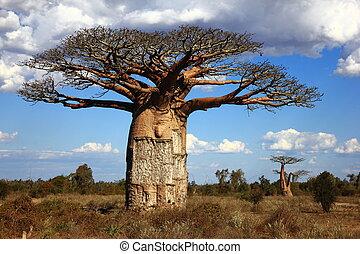 baoba, grande, madagascar, sabana, árbol