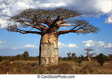 baoba, grande, madagascar, savana, albero