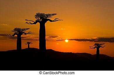 baobab の木, ∥において∥, 日没, 中に, マダガスカル