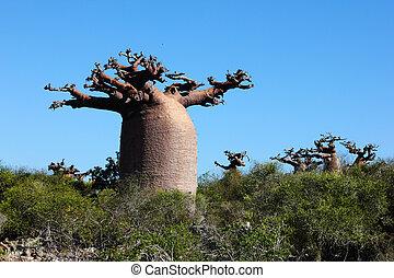 Baobab (Adansonia) in dry forest - Baobab tree (Adansonia ...