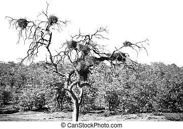 baobab, afrikas, straße, süden