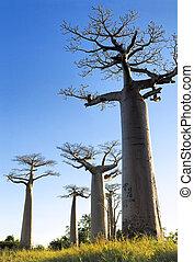 baobab, aleja