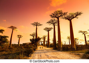 Baobab Alley Sunset