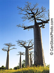 Baobab avenue in the Sunset, Morondava, Madagascar