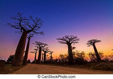 Baobab avenue twilight - Beautiful Baobab trees after sunset...