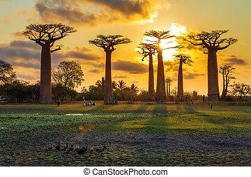 Baobab ducks