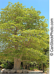 Baobab tree - A young baobab tree in the Ein Gedi botanical...