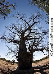 Baobab Tree - Caprivi Strip in Namibia