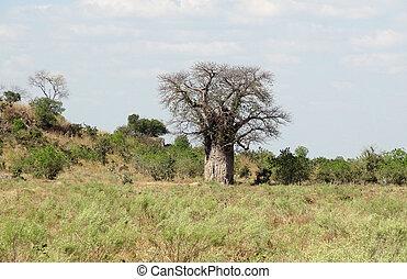 Baobab tree in Botswana