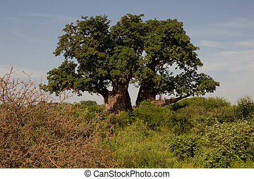 Baobab Tree in Front of Blue Sky in African Safari Park