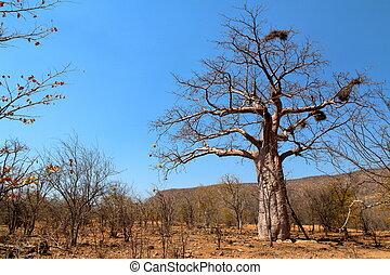 Baobab tree in Namibia