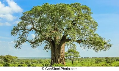 Baobab tree in Tarangire National Park in Tanzania. It's an African huge size tree. Nature reserve in spring wet season on a sunny day with blue sky. Cinemagraph loop background.