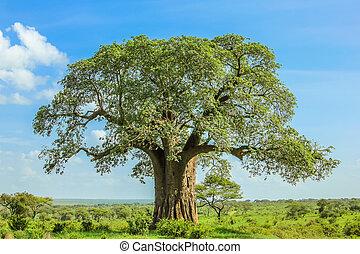 Baobab tree in Tarangire National Park in Tanzania. its...