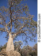 Baobab Tree no 2