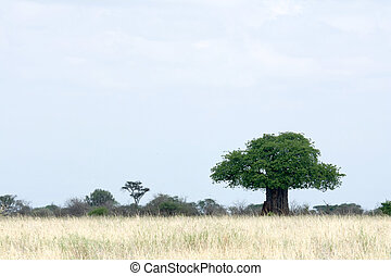 Baobab Tree - Tarangire National Park. Tanzania, Africa -...