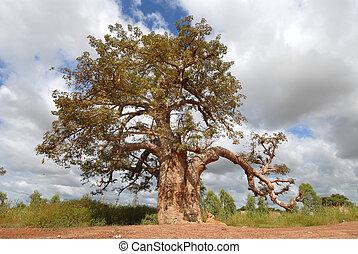baobab trees in Burkina Faso