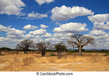 A group of old baoab trees in plain African savannah with blue sky and light white clouds above. Ruaha National Park, Tanzania, Central Africa.
